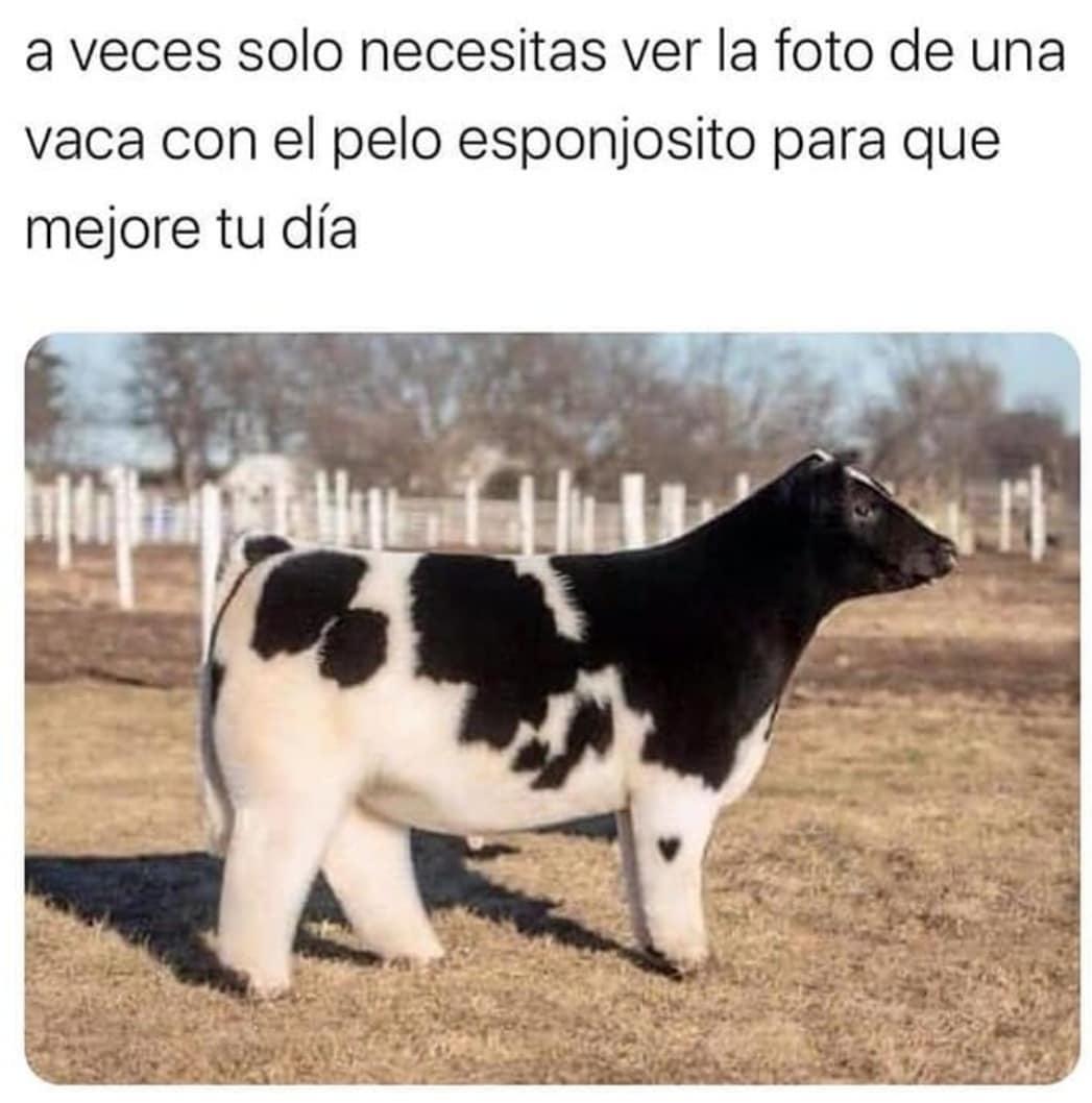 A veces solo necesitas ver la foto de una vaca con el pelo esponjosito para que mejore tu día.