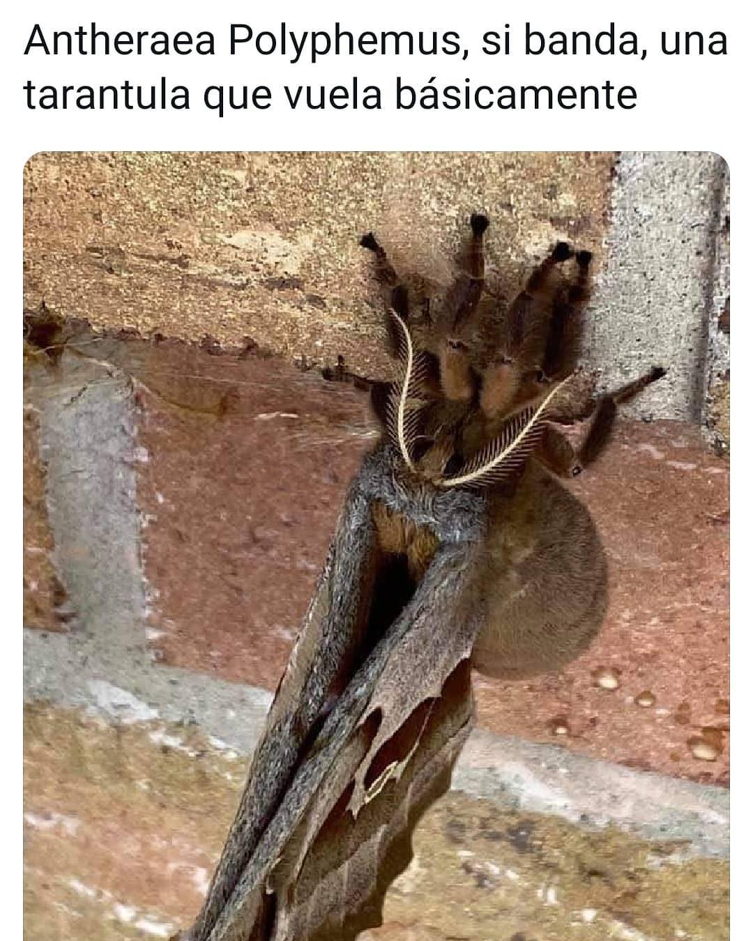 Antheraea Polyphemus, si banda, una tarántula que vuela básicamente.