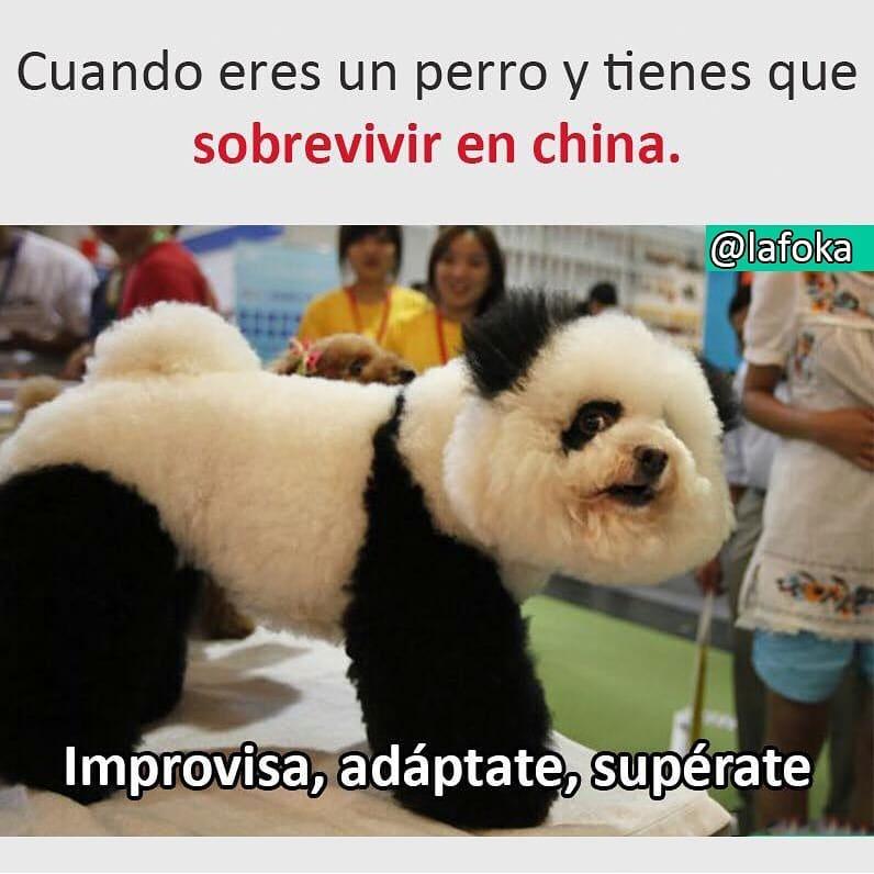 Cuando eres un perro y tienes que sobrevivir en china.  Improvisa, adáptate, supérate.