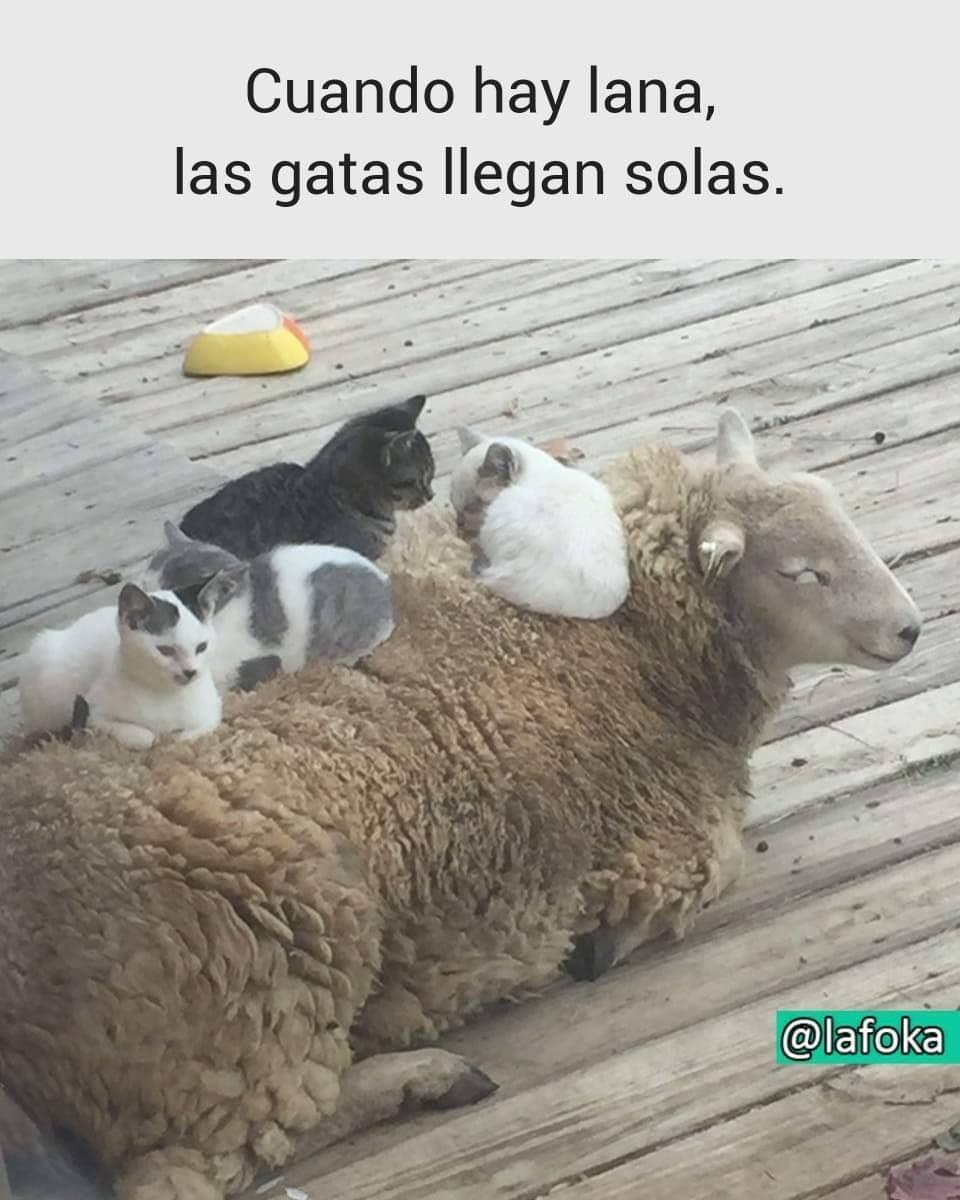 Cuando hay lana, las gatas llegan solas.