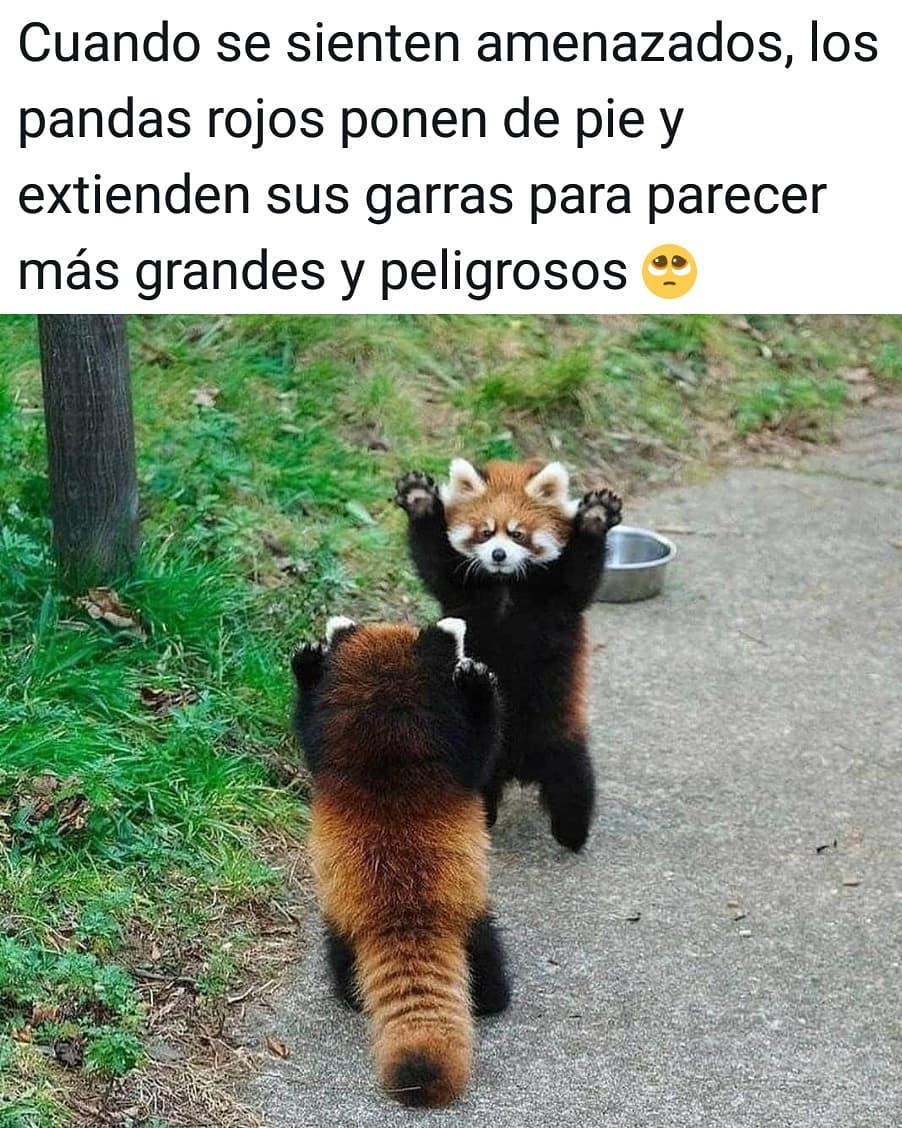 Cuando se sienten amenazados, los pandas rojos ponen de pie y extienden sus garras para parecer más grandes y peligrosos.