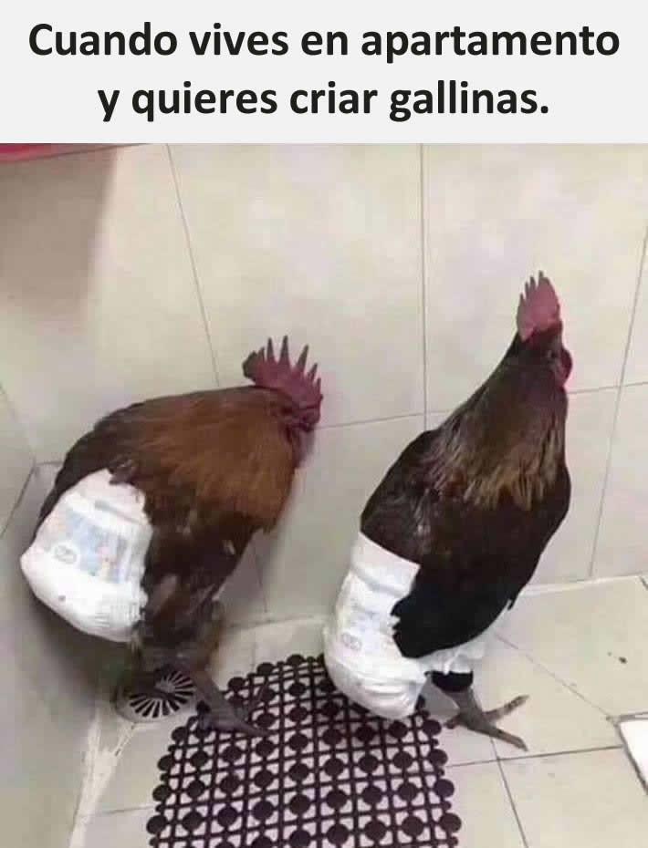 Cuando vives en apartamento y quieres criar gallinas.