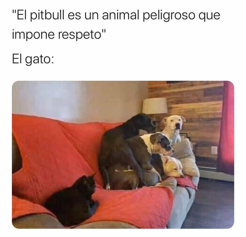 """""""El pitbull es un animal peligroso que impone respeto"""".  El gato:"""