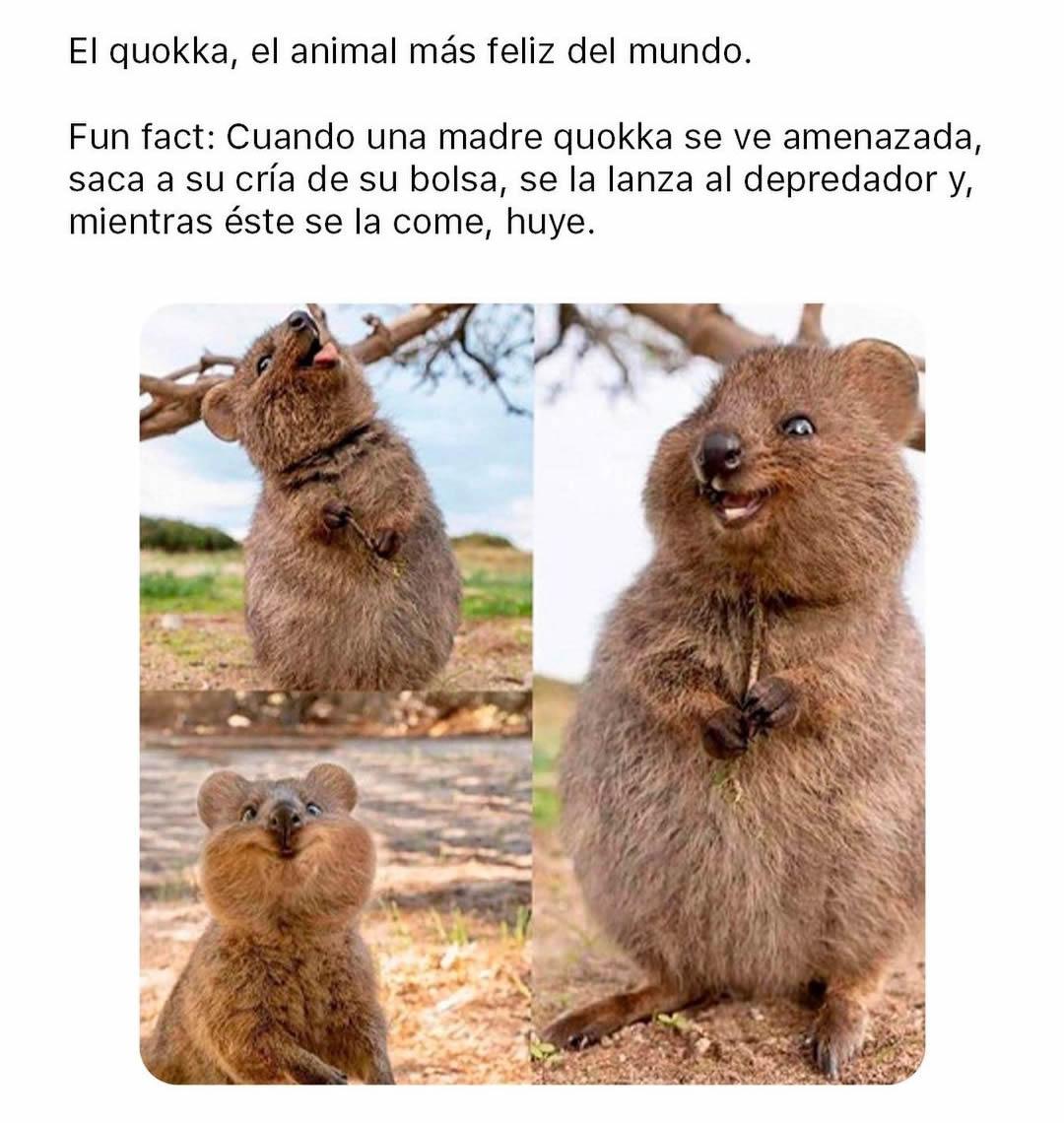 El quokka, el animal más feliz del mundo. Fun fact: Cuando una madre quokka se ve amenazada, saca a su cría de su bolsa, se la lanza al depredador y, mientras éste se la come, huye.