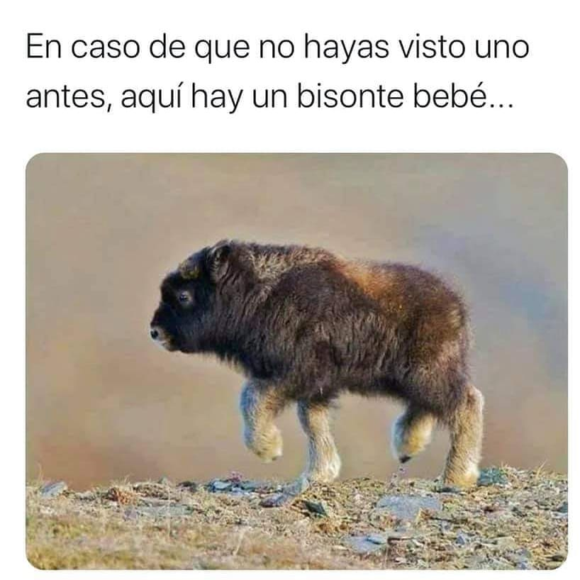 En caso de que no hayas visto uno antes, aquí hay un bisonte bebé...