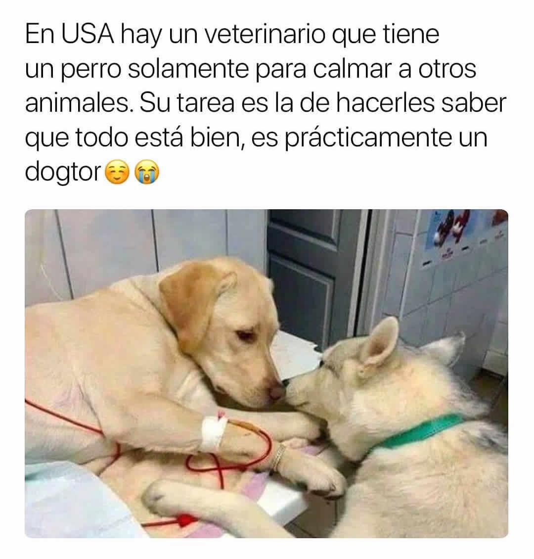 En USA hay un veterinario que tiene un perro solamente para calmar a otros animales. Su tarea es la de hacerles saber que todo está bien, es prácticamente un dogtor.