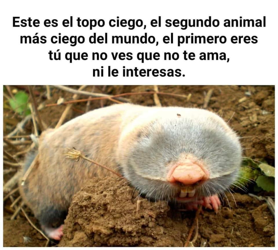 Este es el topo ciego, el segundo animal más ciego del mundo, el primero eres tú que no ves que no te ama, ni le interesas.