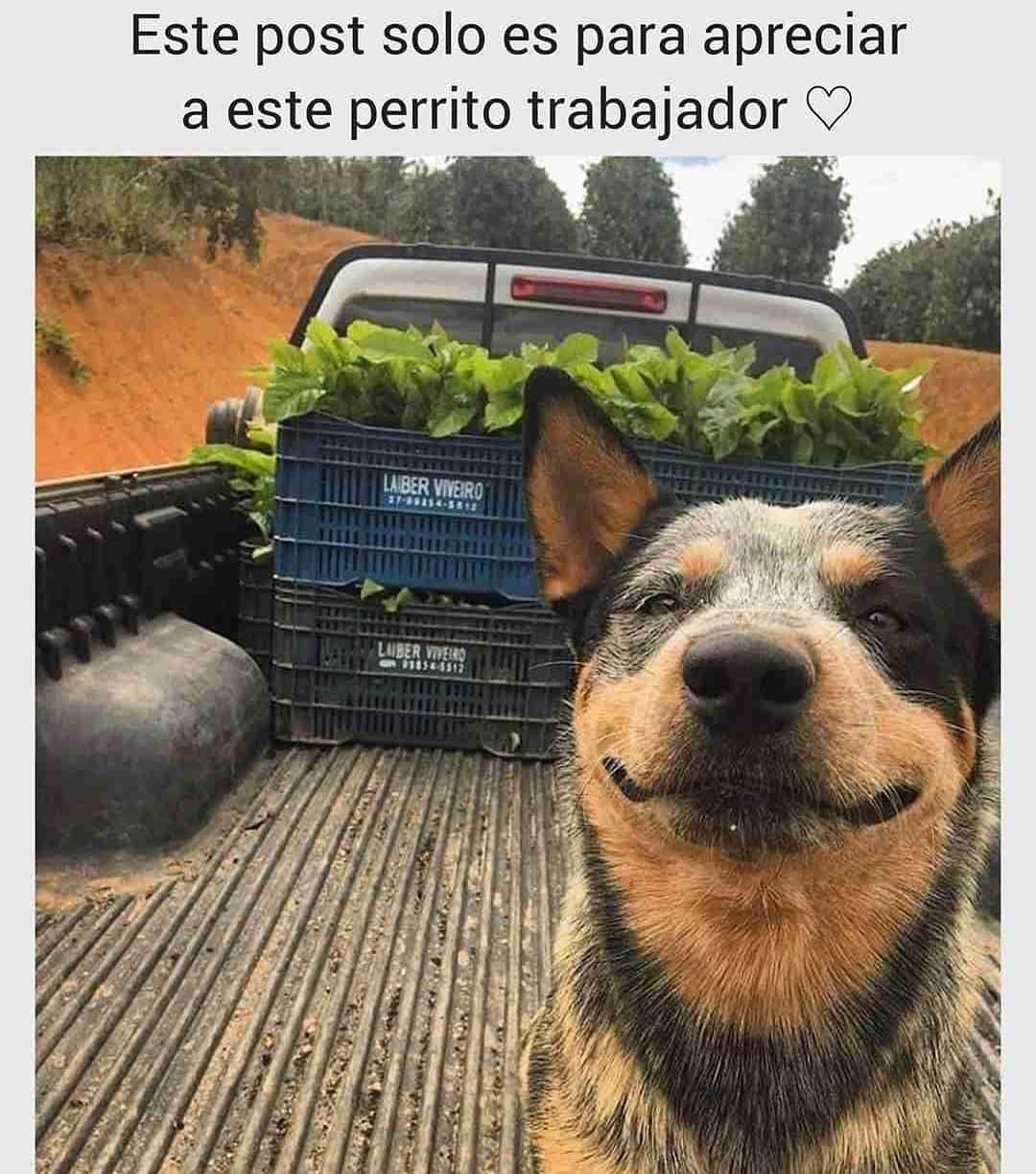 Este post solo es para apreciar a este perrito trabajador.