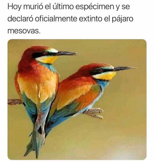 Hoy murió el último espécimen y se declaró oficialmente extinto el pájaro mesovas.