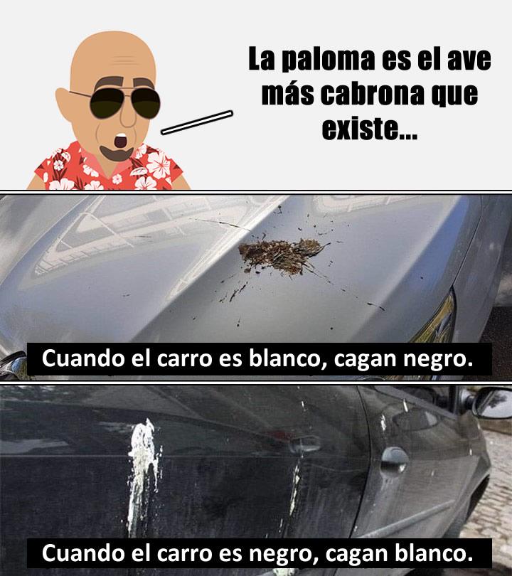 La paloma es el ave más cabrona que existe...  Cuando el carro es blanco, cagan negro.  Cuando el carro es negro, cagan blanco.