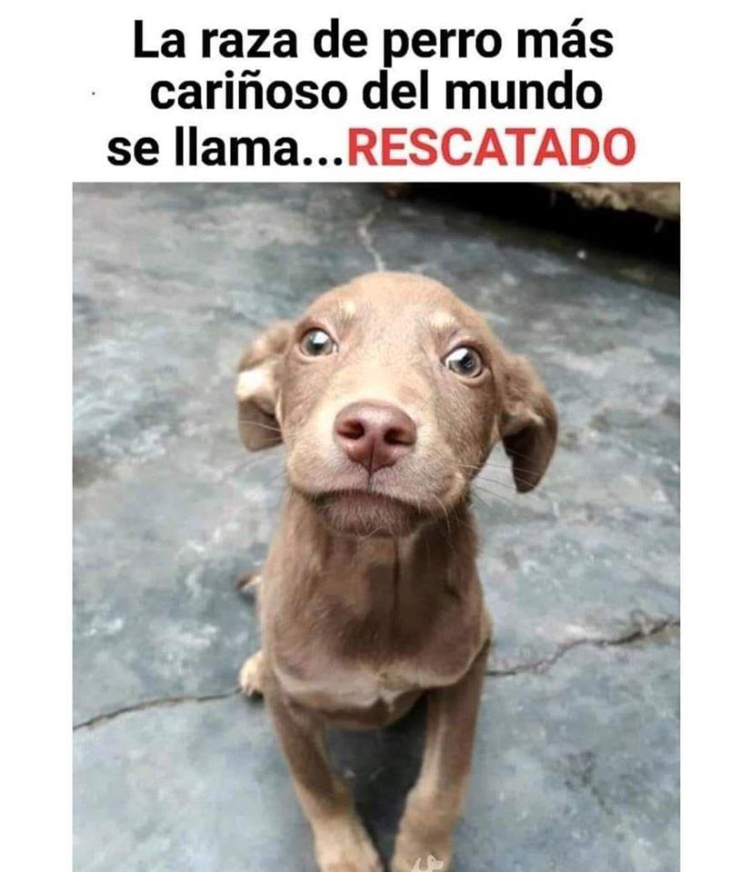 La raza de perro más cariñoso del mundo se llama... RESCATADO