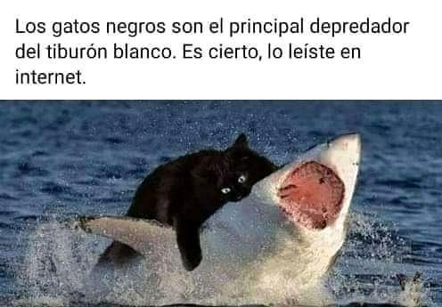 Los gatos negros son el principal depredador del tiburón blanco. Es cierto, lo leíste en internet.