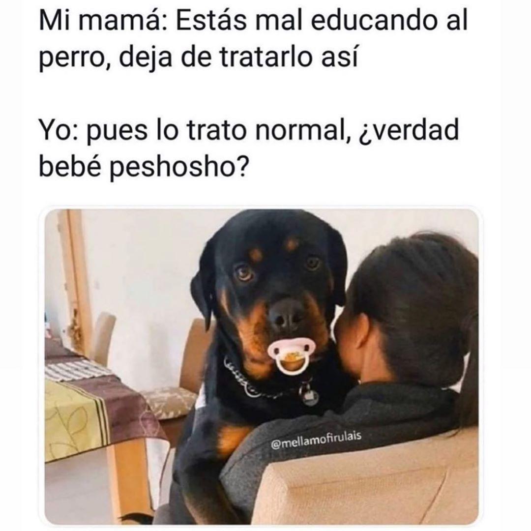 Mi mamá: Estás mal educando al perro, deja de tratarlo así.  Yo: Pues lo trato normal, ¿verdad bebé peshosho?