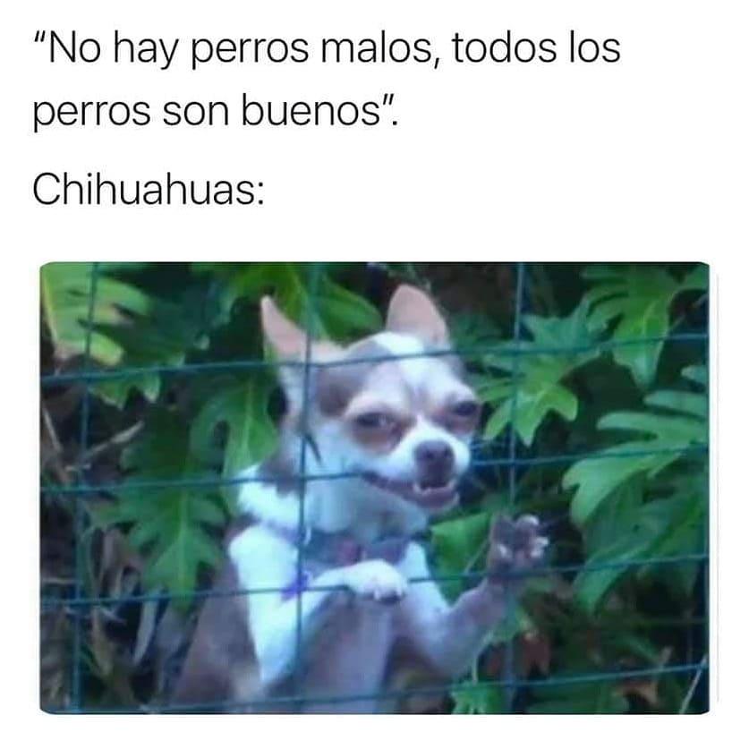 """""""No hay perros malos, todos los perros son buenos"""".  Chihuahuas:"""