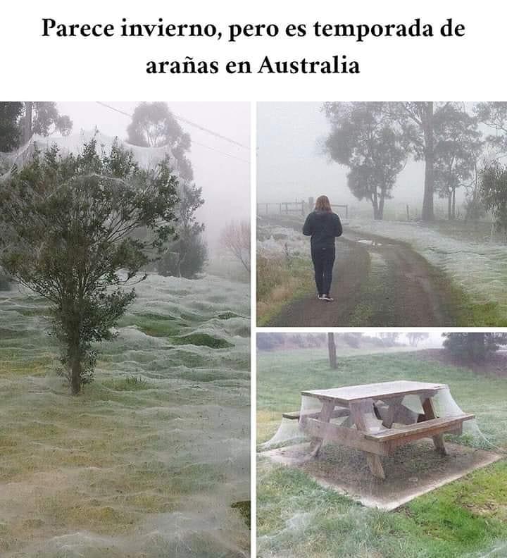 Parece invierno, pero es temporada de arañas en Australia.