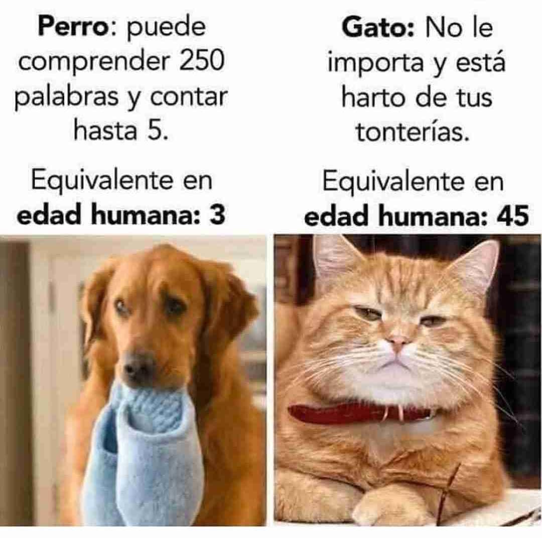 Perro: puede comprender 250 palabras y contar hasta 5. Equivalente en edad humana: 3.  Gato: No le importa y está harto de tus tonterías. Equivalente en edad humana: 45.