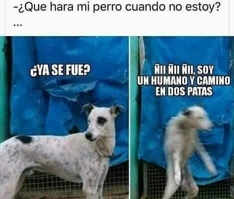 ¿Que hara mi perro cuando no estoy?  ¿Ya se fue?  Ñii Ñii Ñii, soy un humano y camino en dos patas.