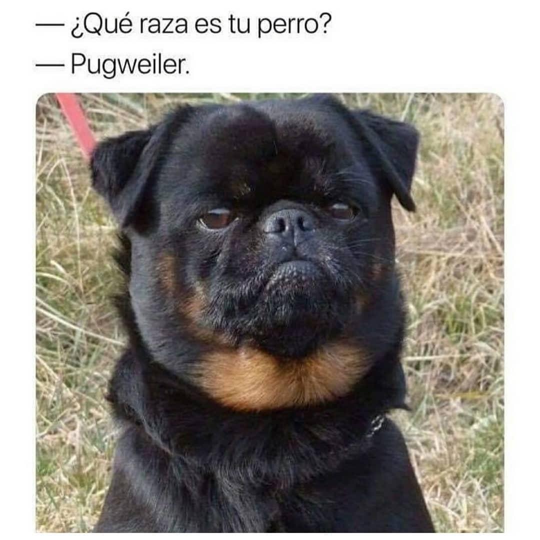 ¿Qué raza es tu perro?  Pugweiler.