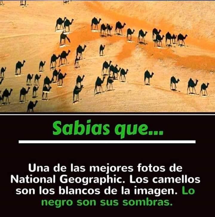 Sabias que...  Una de las mejores fotos de National Geographic. Los camellos son los blancos de la imagen. Lo negro son sus sombras.