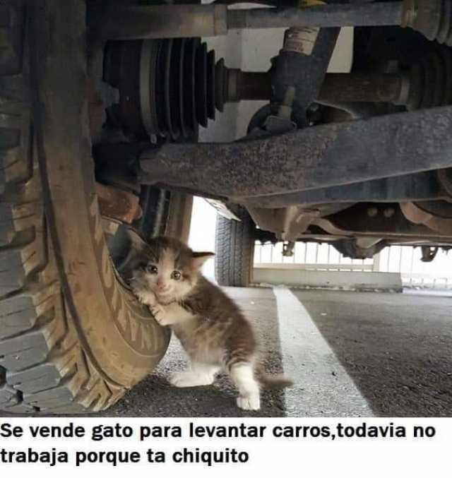 Se vende gato para levantar carros, todavía no trabaja porque ta chiquito.