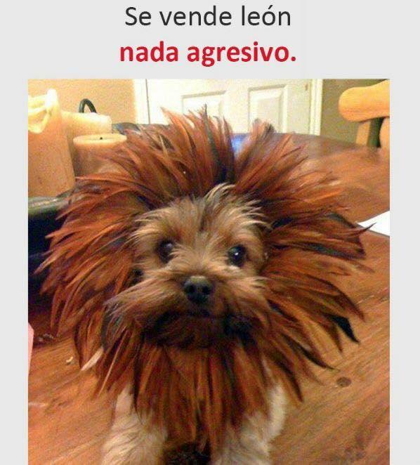 Se vende león nada agresivo.