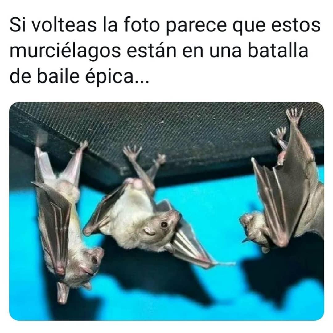 Si volteas la foto parece que estos murciélagos están en una batalla de baile épica...