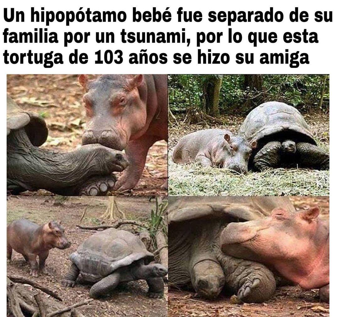 Un hipopótamo bebé fue separado de su familia por un tsunami, por lo que esta tortuga de 103 años se hizo su amiga.
