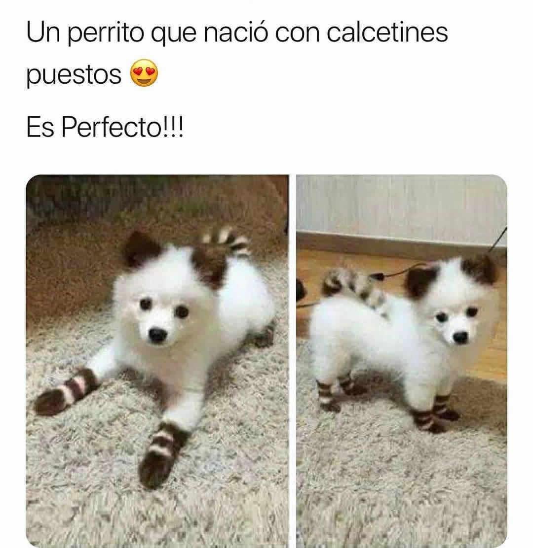 Un perrito que nació con calcetines puestos.  Es Perfecto!!!