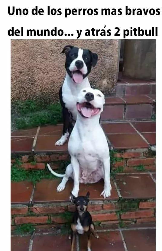Uno de los perros más bravos del mundo... y atrás 2 pitbull.